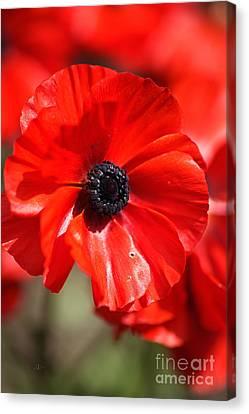 Canvas Print - Bright As Ranunculus Flowers by Joy Watson