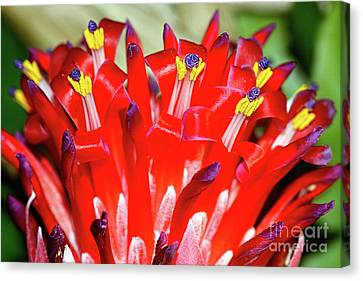 Canvas Print featuring the photograph Bright Blooming Bromeliad By Kaye Menner by Kaye Menner