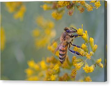 Bright Eyed Bee Canvas Print by Janet Rockburn