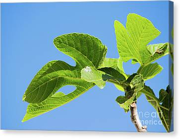 Bright Green Fig Leaf Against The Sky Canvas Print by Cesar Padilla