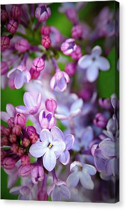 Bright Lilacs Canvas Print by The Forests Edge Photography - Diane Sandoval