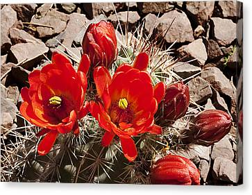 Canvas Print featuring the photograph Bright Orange Cactus Blossoms by Phyllis Denton