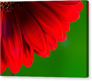 Bright Red Chrysanthemum Flower Petals And Stamen Canvas Print