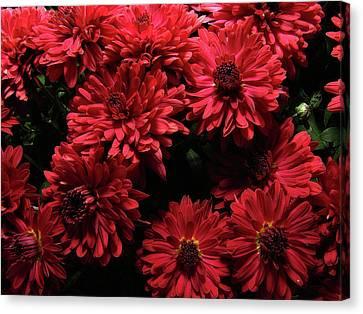 Bright Red Mums Canvas Print by Scott Hovind