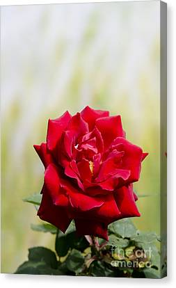 Bright Red Rose Canvas Print by Perry Van Munster
