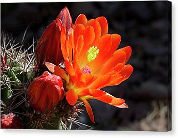 Bright Tangerine Cactus Flower Canvas Print by Phyllis Denton