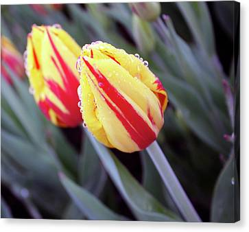 Bright Yellow And Red Tulips Canvas Print by Kami McKeon