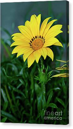 Canvas Print featuring the photograph Bright Yellow Gazania By Kaye Menner by Kaye Menner