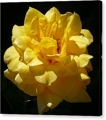 Bright Yellow Rose Canvas Print