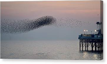Birds In Flight At Night Canvas Print - Brighton Starling Murmuration by Simon Dack