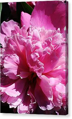 Brillant Pink Peony Canvas Print by Bruce Bley