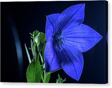 Brilliant Blue Balloon Flower Canvas Print by Douglas Barnett