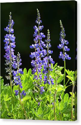 Canvas Print featuring the photograph Brilliant Lupines by Elvira Butler