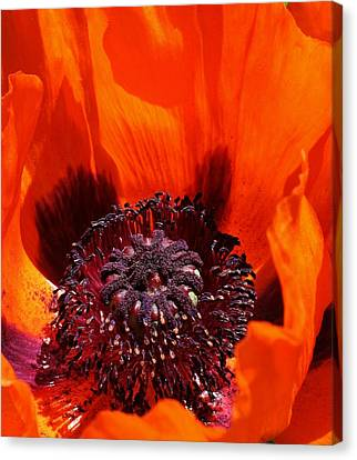 Brilliant Poppy Canvas Print by Bruce Bley