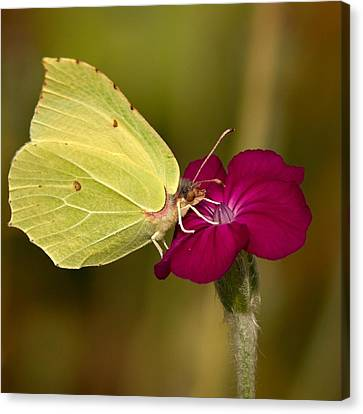 Canvas Print featuring the photograph Brimstone 1 by Jouko Lehto