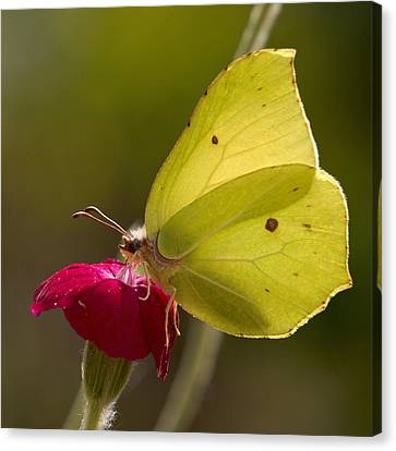 Canvas Print featuring the photograph Brimstone 2 by Jouko Lehto
