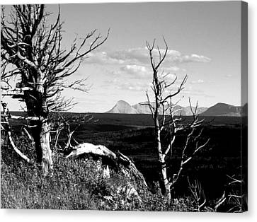 Bristle Cone Pines With Divide Mountain In Black And White Canvas Print