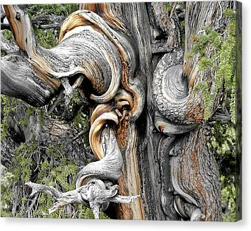 Drama Canvas Print - Bristlecone Pine - 'i Am Not Part Of History - History Is Part Of Me' by Christine Till