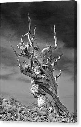 Bristlecone Pine - A Survival Expert Canvas Print by Christine Till