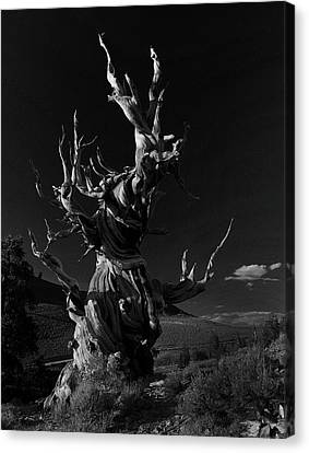 Canvas Print featuring the photograph Bristlecone Pine by Art Shimamura