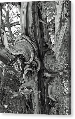 Bristlecone Pine Detail Canvas Print by Troy Montemayor