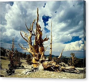 Bristlecone Pine Canvas Print by Erik Poppke