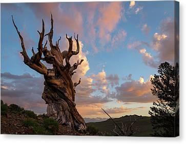 Bristlecone Pine Sunset Canvas Print
