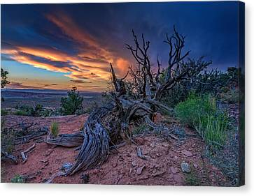 Bristlecone Sunset Canvas Print by Rick Berk