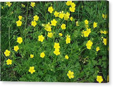 Canvas Print featuring the photograph Bristly Buttercup by Robyn Stacey