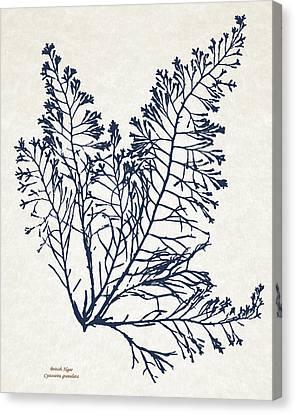 British Algae Cystoseira Granulata Canvas Print by Christina Rollo