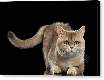 Brittish Cat With Curve Tail On Black Canvas Print by Sergey Taran