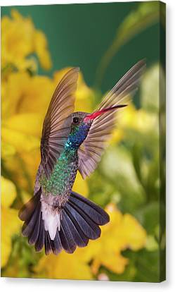 Humming Birds Canvas Print - Broad-bill Pose by Janet Fikar