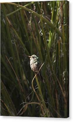 Canvas Print featuring the photograph Broad Billed Humming Bird Fem by Daniel Hebard