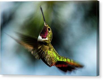 Broad-tailed Hummingbird In Flight Canvas Print by Marilyn Burton