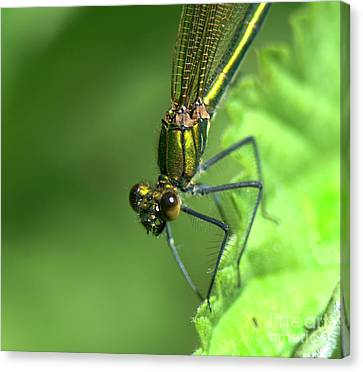 Broad-winged Damselfly Canvas Print