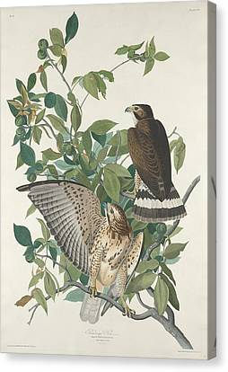 Prey Canvas Print - Broad-winged Hawk by Dreyer Wildlife Print Collections