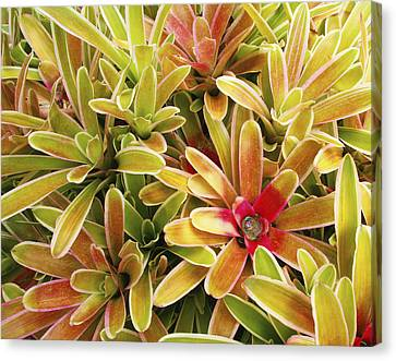 Bromeliad Canvas Print - Bromeliad Brightness by Ron Dahlquist - Printscapes