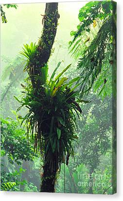 Bromeliad Canvas Print - Bromeliads And Mist El Yunque by Thomas R Fletcher