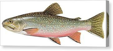 Brook Trout Canvas Print by American School