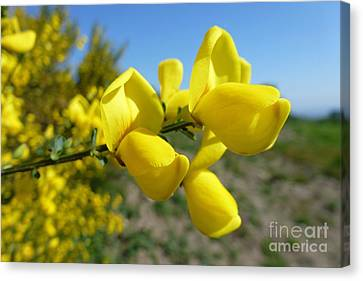Broom In Bloom 4 Canvas Print by Jean Bernard Roussilhe