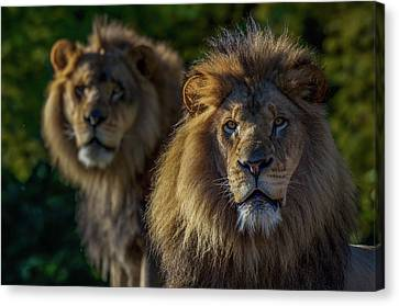 Pittsburgh Zoo Canvas Print - Brothers by Ashley Noble