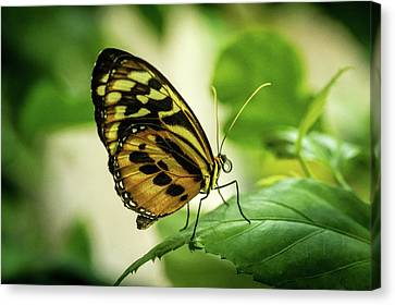 Brown And Black Tropical Butterfly Resting Canvas Print