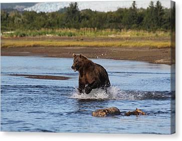 Brown Bear Chasing Fish Canvas Print by David Wilkinson