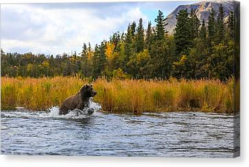 Brown Bear Chasing Fish Canvas Print by Sam Amato