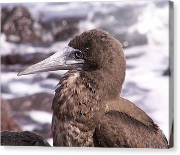Brown Booby Canvas Print by Alan Kincade