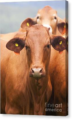 Brown Cow Canvas Print by Jorgo Photography - Wall Art Gallery