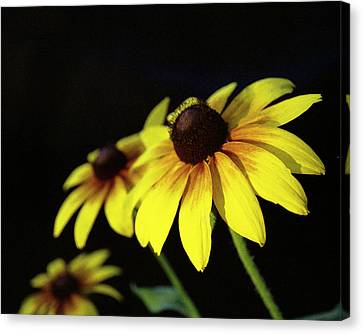 Brown Eyed Susan Canvas Print by Michael Peychich