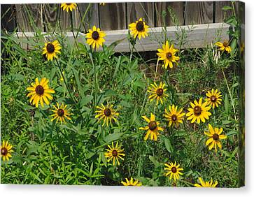 Canvas Print featuring the photograph Brown Eyed Susans by Robyn Stacey