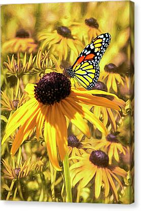 Brown Eyed Susens And The Monarch Canvas Print by Diane Schuster