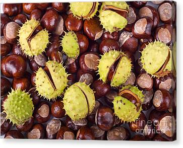 Brown Glossy Conkers Of Horse-chestnut Tree Canvas Print by Arletta Cwalina